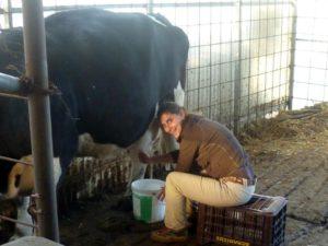 Συγκομιδή βιολογικού αγελαδινού γάλατος