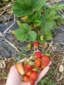 Οι φράουλες της Δήμητρας